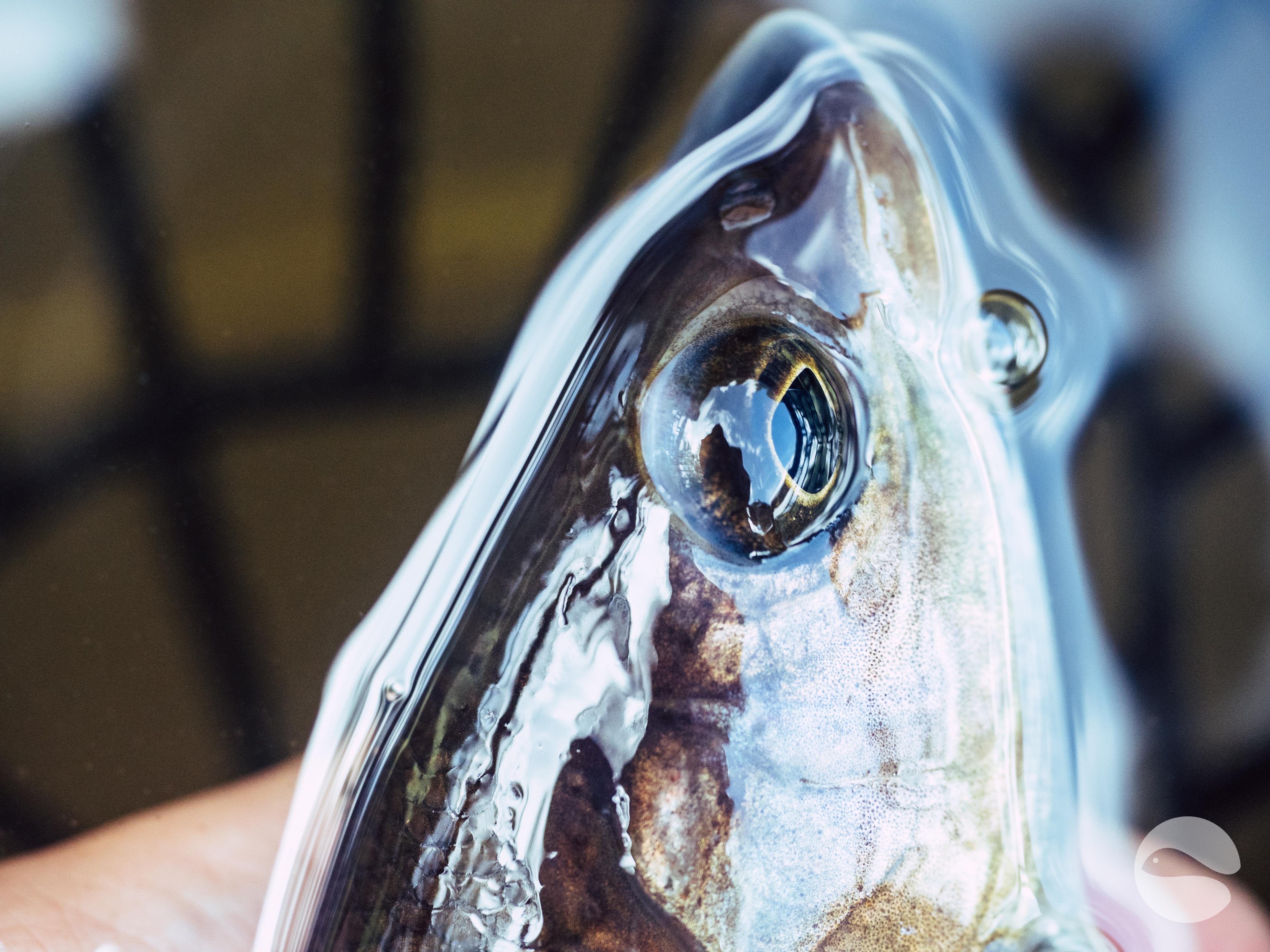Grayling closeup