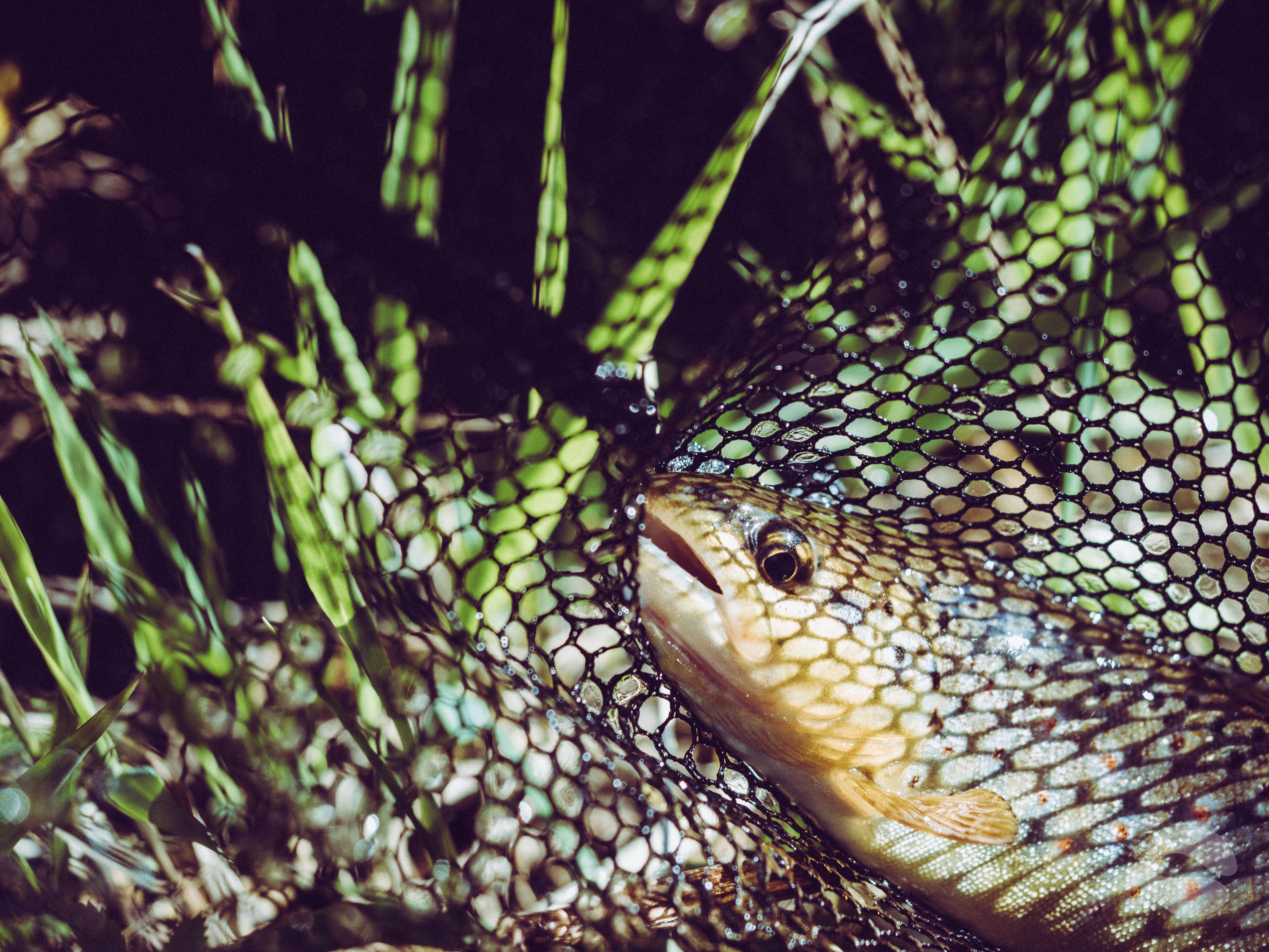 Trout in a landing net