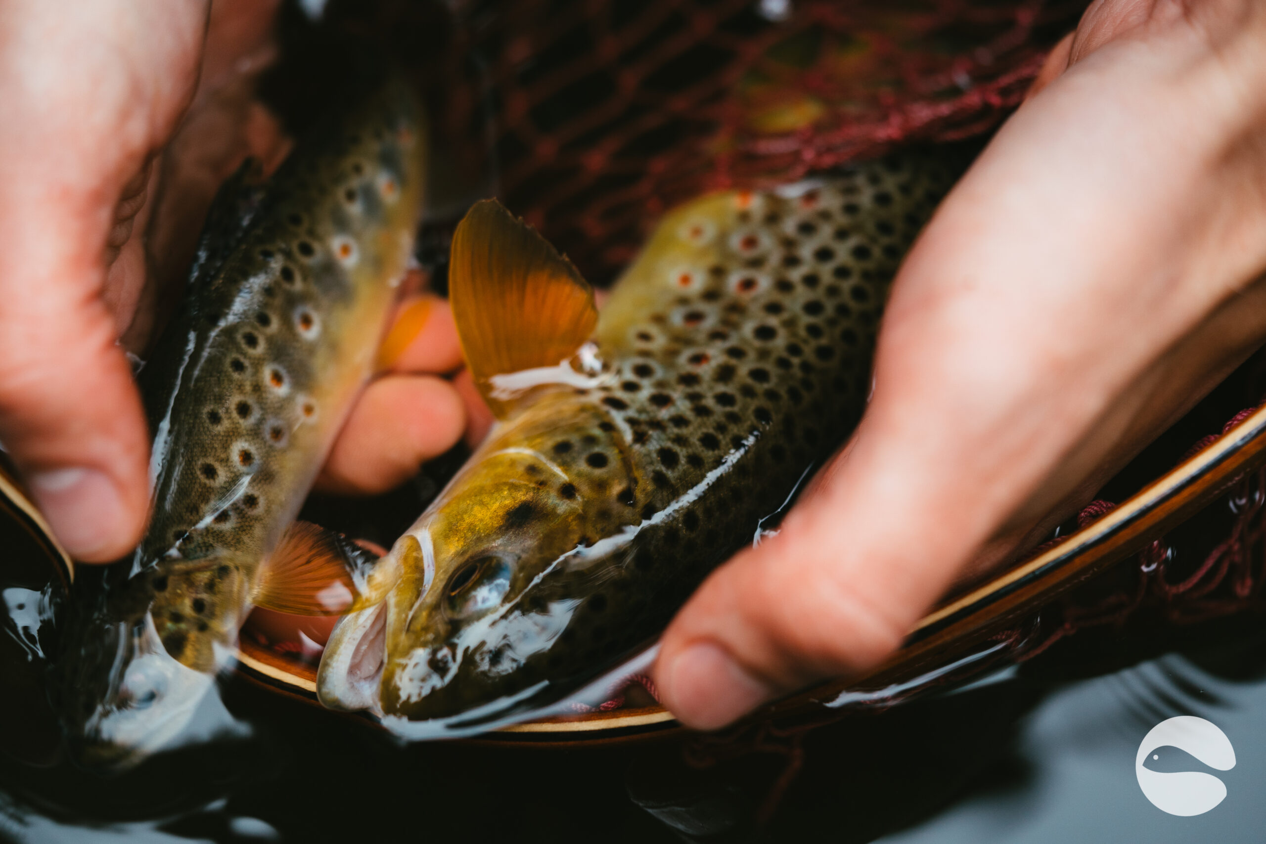 Brown trout (11)