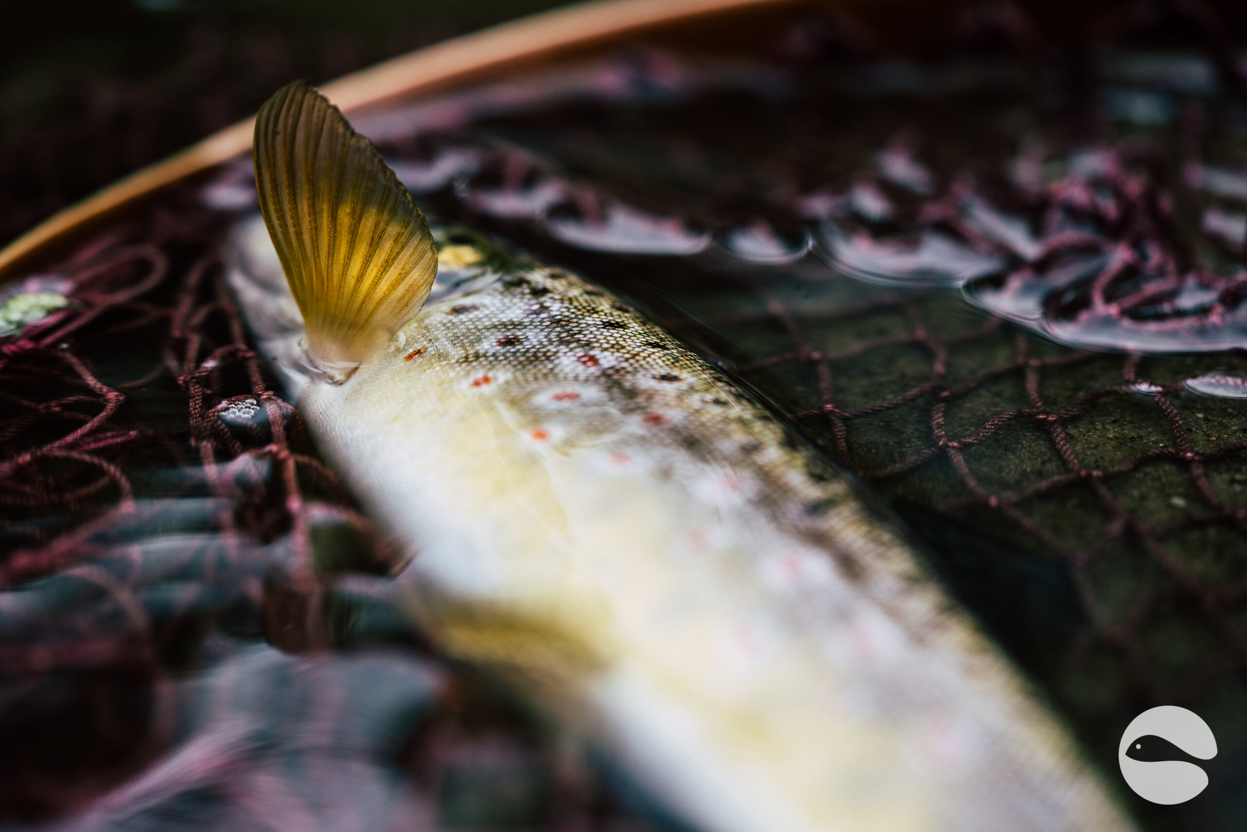 Brown trout (4)