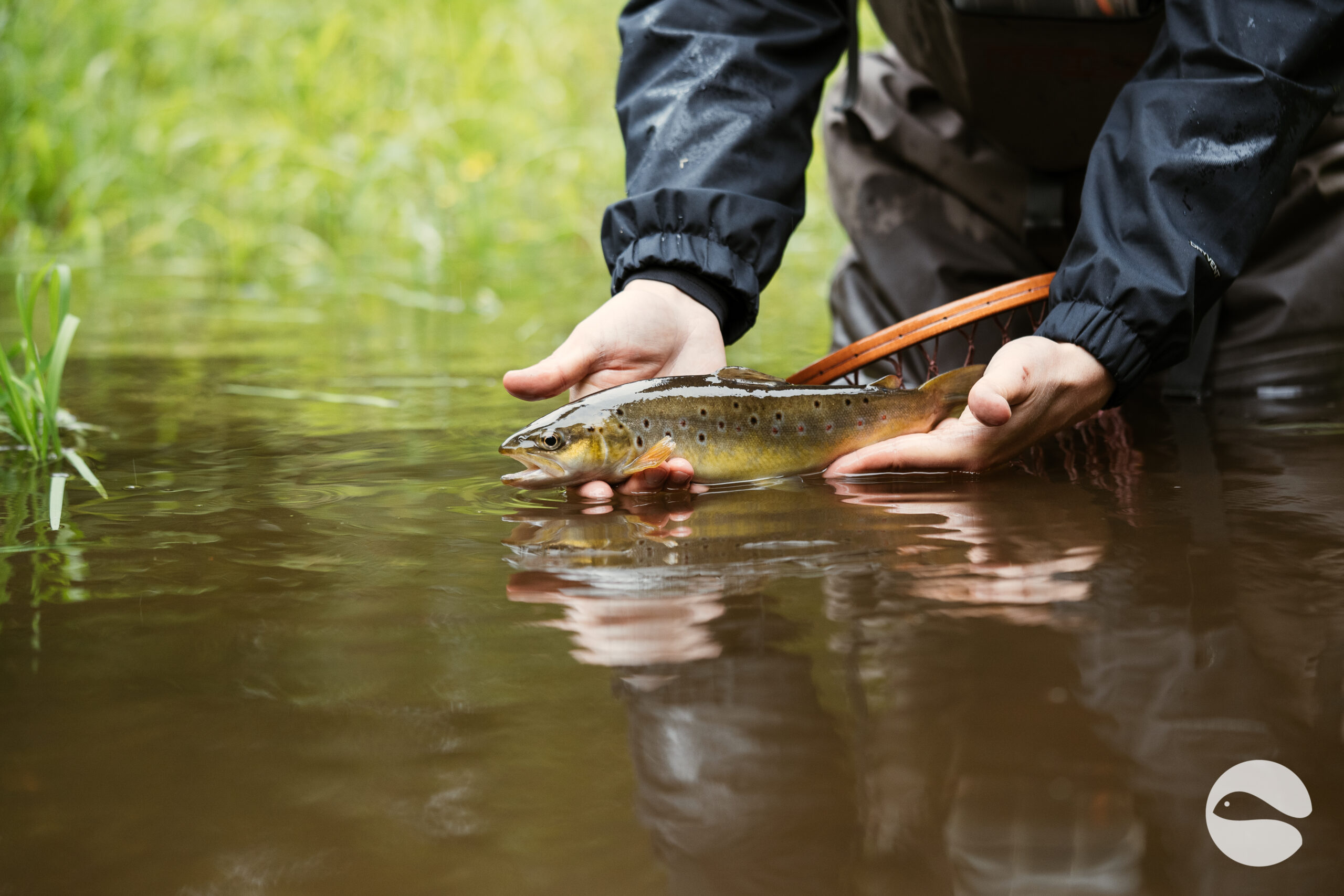 Brown trout (6)