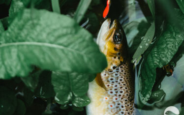 Brown trout (9)
